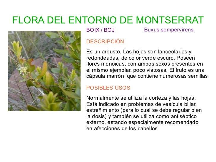 FLORA DEL ENTORNO DE MONTSERRAT            BOIX / BOJ              Buxus sempervirens            DESCRIPCIÓN            És...