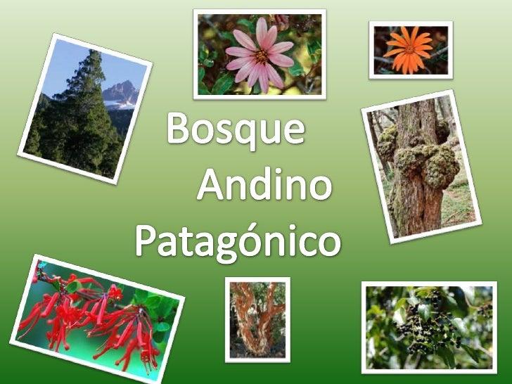 Los bosques andinopatagónicos danprotección a los suelos ya las cuencas de los ríosy arroyos, toman parteen el ciclo delag...