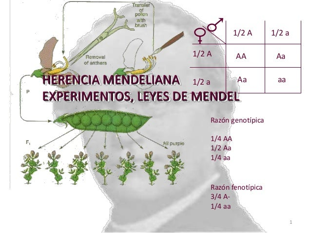 1/2 A  1/2 a  AA  Aa  Aa HERENCIA MENDELIANA 1/2 a EXPERIMENTOS, LEYES DE MENDEL  aa  1/2 A  Razón genotípica 1/4 AA 1/2 A...