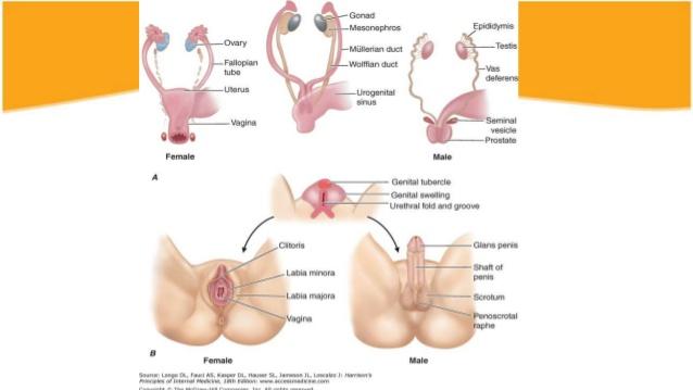 Sex Hermaphroditism 97