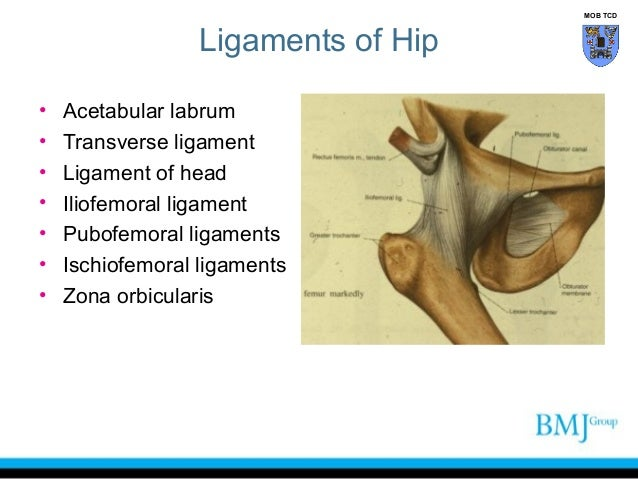 Hip anatomy ligaments
