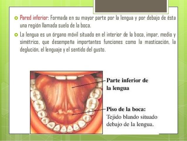 La boca gl ndulas salivales faringe composici n de la - En el piso de abajo libro ...