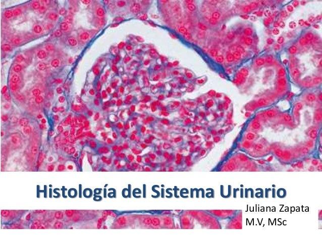 Histología del Sistema Urinario Juliana Zapata M.V, MSc