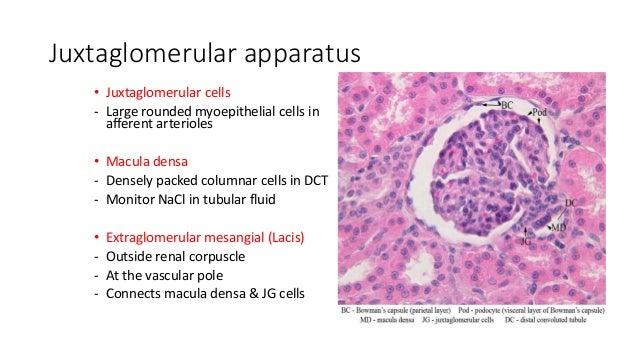 Histology of Kidney