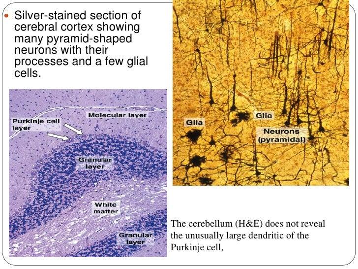 Histology Of Nerve System