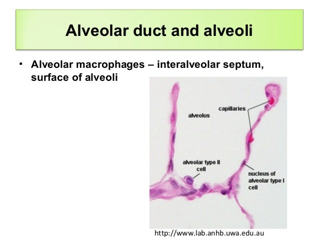 Histology of respiratory system