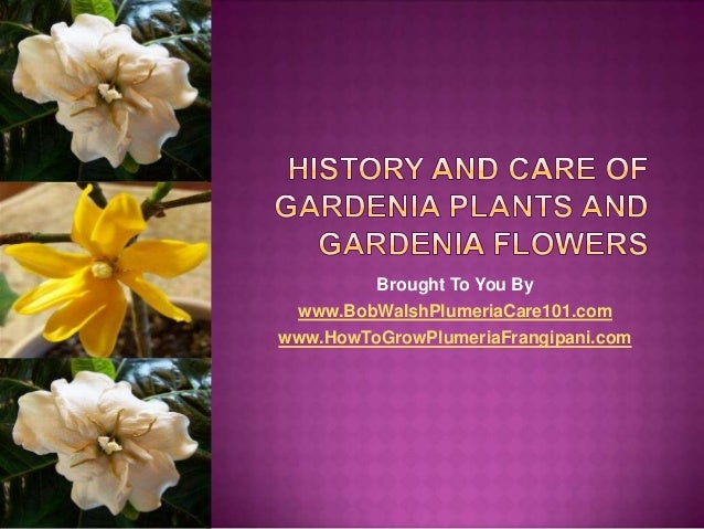 History and Care of Gardenia Plants and Gardenia Flowers