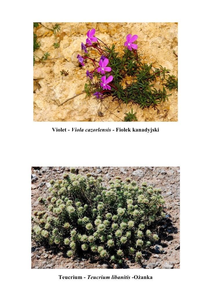 Violet - Viola cazorlensis - Fiołek kanadyjski  Teucrium - Teucrium libanitis -Ożanka
