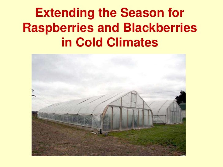 Extending the Season for  Raspberries and Blackberries in Cold Climates<br />