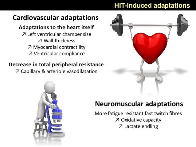 Adaptations to the heart itself ↗ Left ventricular chamber size ↗ Wall thickness ↗ Myocardial contractility ↗ Ventricular ...