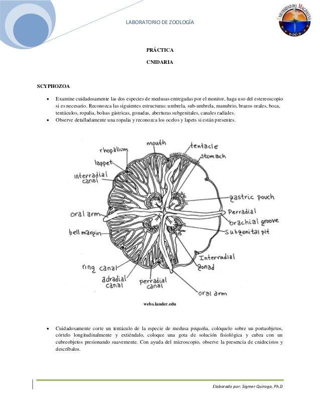 Practica cnidaria