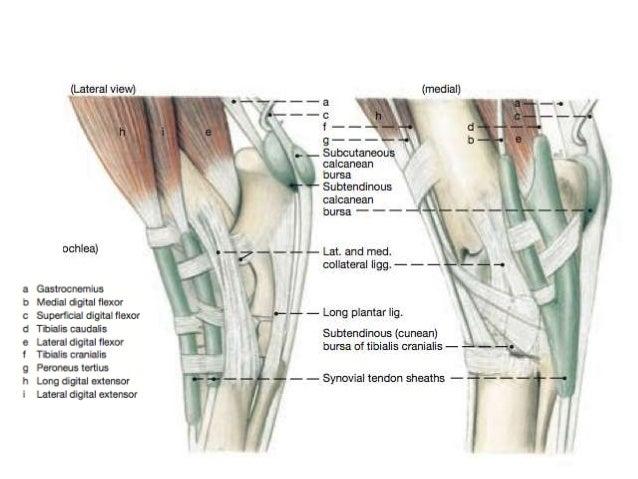 Canine hock anatomy