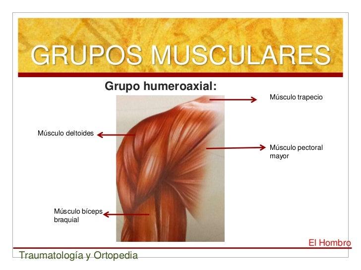 La anatomía del hombro el deltoides - Músculos del Hombro