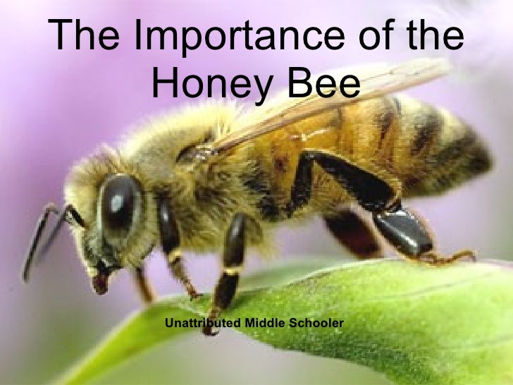 The Importance of the Honey Bee Unattributed Middle Schooler