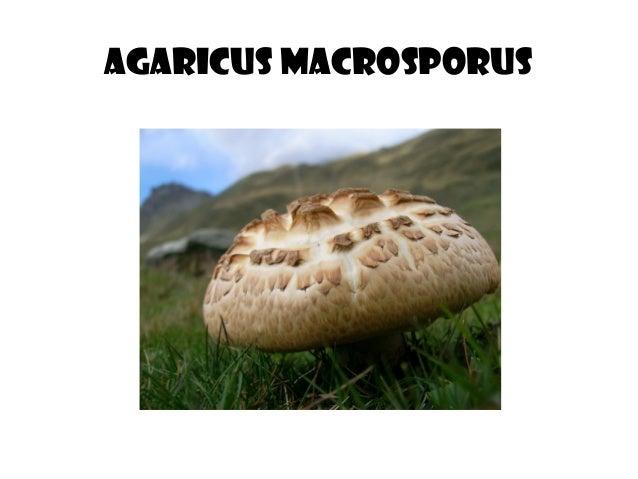 Agaricus macrosporus
