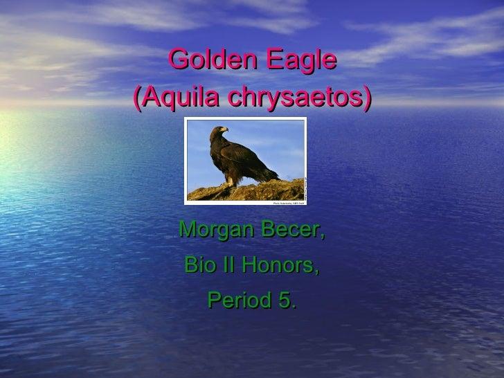 Golden Eagle (Aquila chrysaetos) Morgan Becer, Bio II Honors, Period 5.