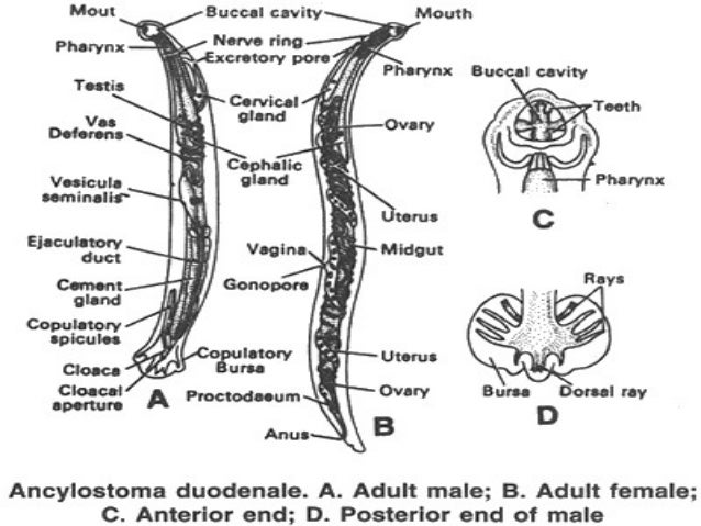 Spinal Cord Anatomy as well 14301125 additionally Hookworm Ug as well 7231770 likewise PIG 20HEART 20DISSECTION. on ventral surface of the human body