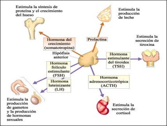 Sistema Endocrino: El Gran Mensajero Químico – Sociedad Cultural ...