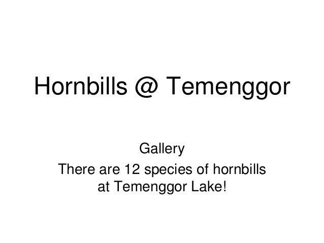 Hornbills @ Temenggor Gallery There are 12 species of hornbills at Temenggor Lake!