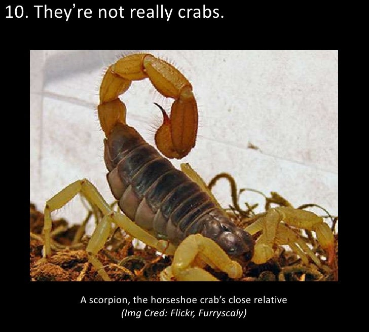 10. They're not really crabs.         A scorpion, the horseshoe crab's close relative                  (Img Cred: Flickr, ...