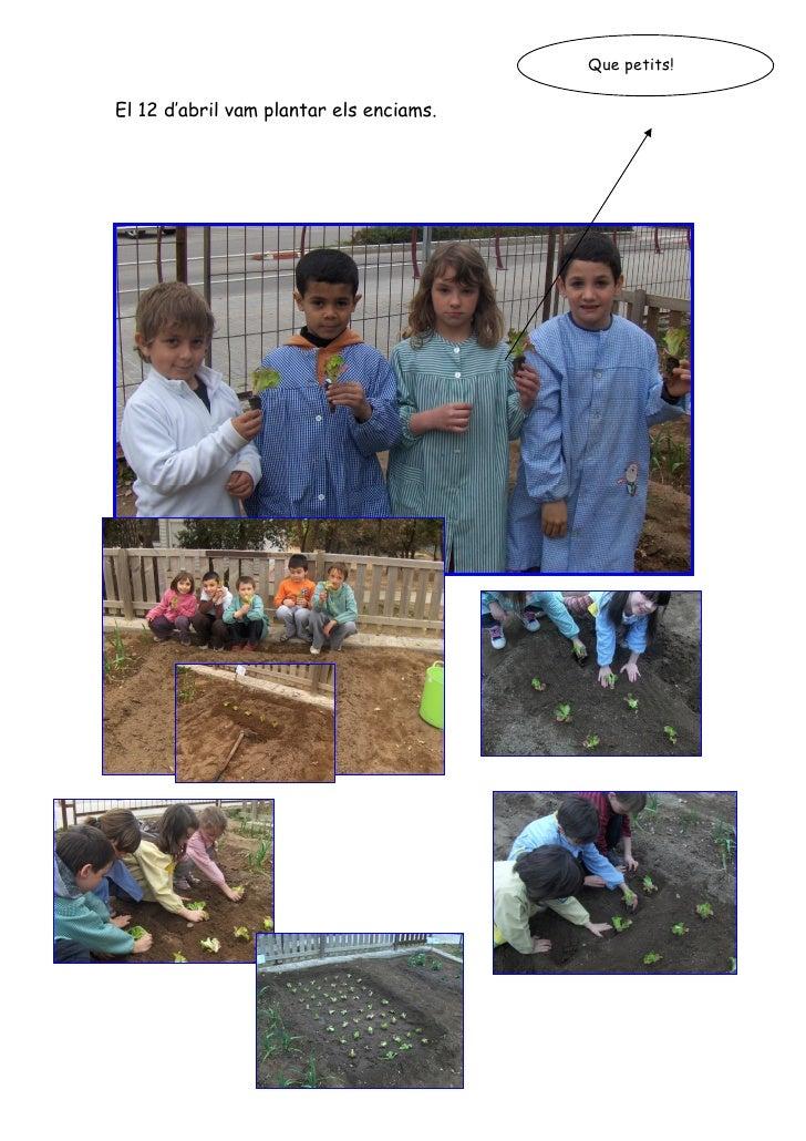 Que petits!  El 12 d'abril vam plantar els enciams.