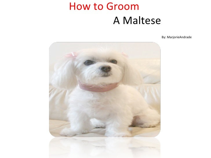 How to Groom    A Maltese   By: MarjorieAndrade