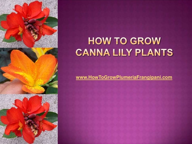 How To Grow Canna Lily Plants