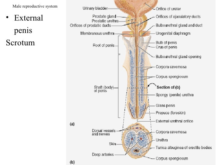 Male reproductive system  • External   penis Scrotum