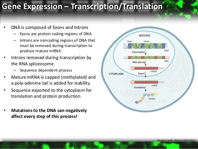 how are introns and exons involved in production of mrna
