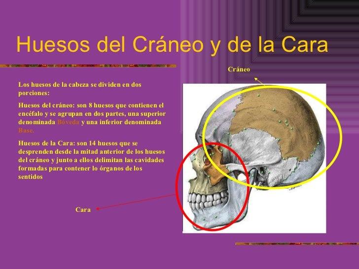 Huesos del Cráneo y de la Cara Los huesos de la cabeza se dividen en dos porciones: Huesos del cráneo: son 8 huesos que co...
