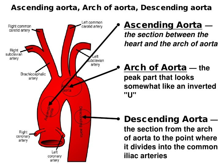 Aortic arch anatomy