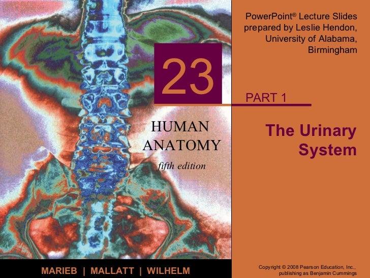 Human Human Anatomy Urinary System