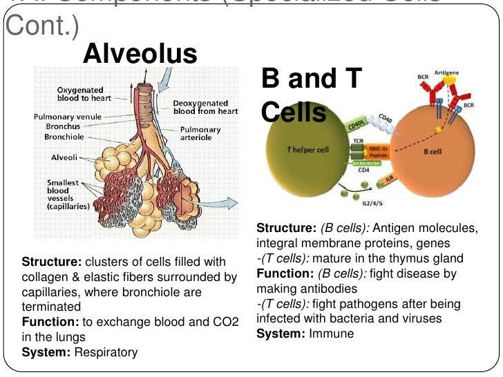 human thymus gland | masteri, Cephalic Vein