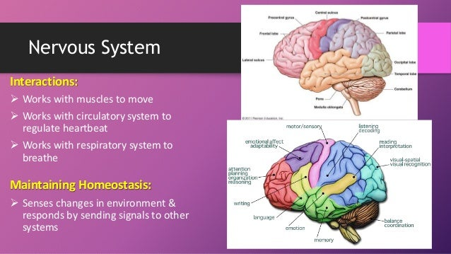 essay about how does the human respiratory system work How does the human respiratory system work essay, creative writing exercise for grade 4, year 5 creative writing.