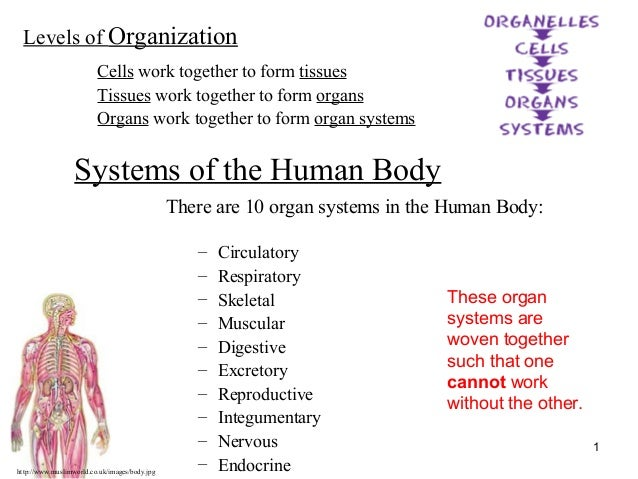 http://www.muslimworld.co.uk/images/body.jpg 1 Systems of the Human Body There are 10 organ systems in the Human Body: – C...