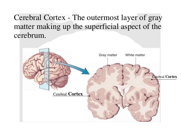What Makes Up The Majority Of The Cerebral Cortex Socratic