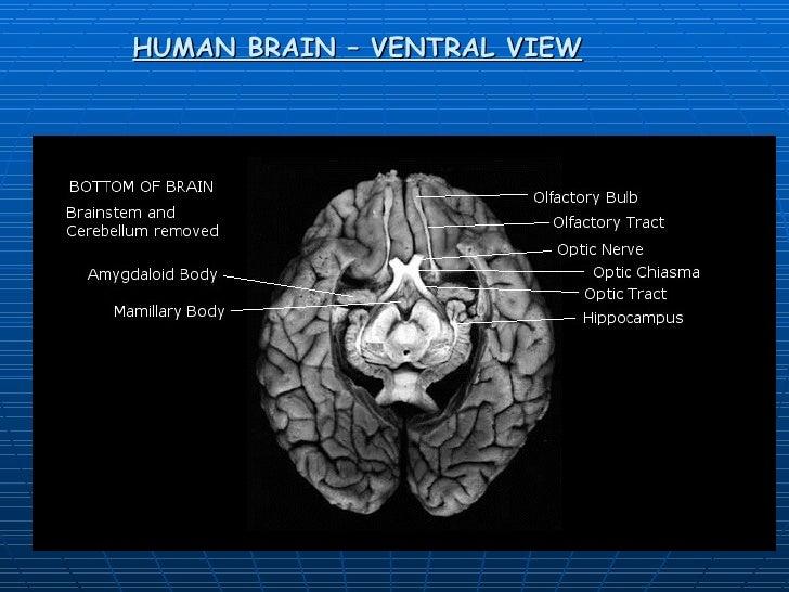 HUMAN BRAIN – VENTRAL VIEW