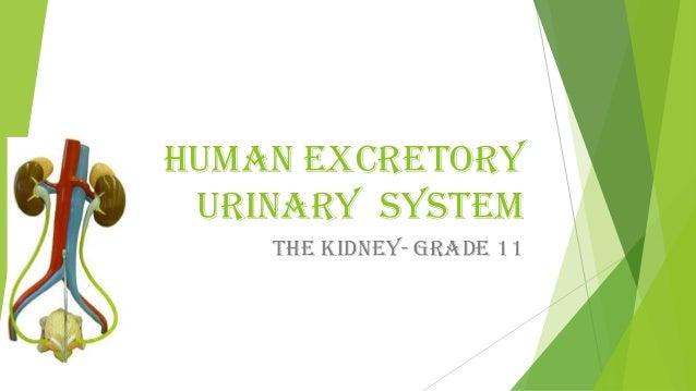 Human urinary excretory system