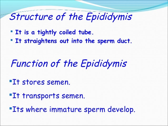 What is the function of the epididymis? | Reference.com