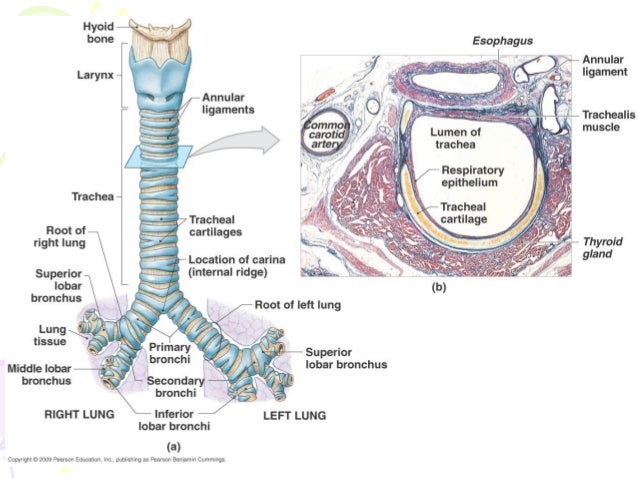 Thoracic diaphragm - Wikipedia