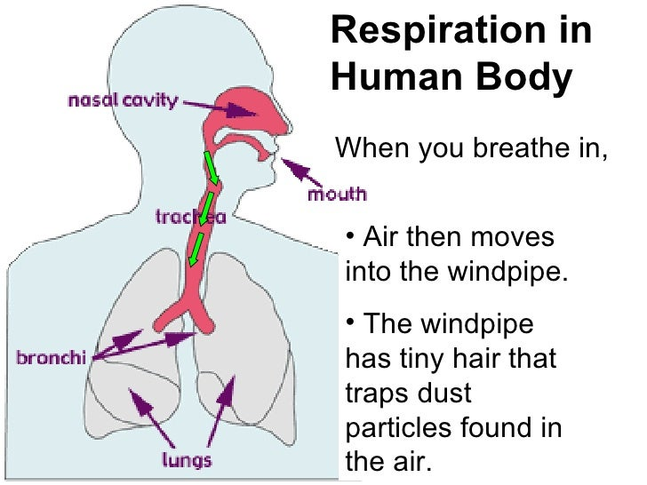 analysis of the human respiratory system Respiratory system essay examples the effects of pollution on the human respiratory system an analysis of the respiratory system.