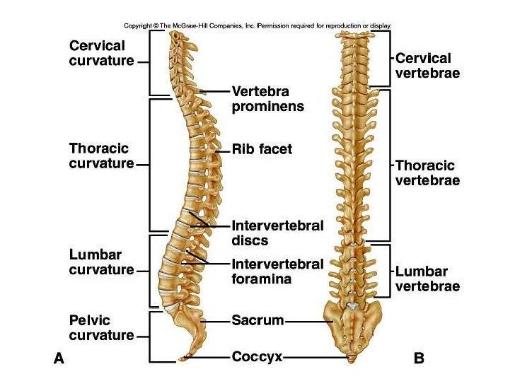Human skeleton back spine - photo#4