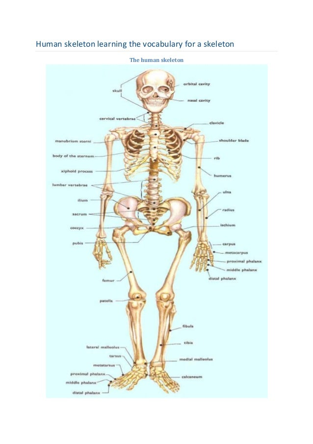 Human skeleton learning the vocabulary for a skeleton The human skeleton