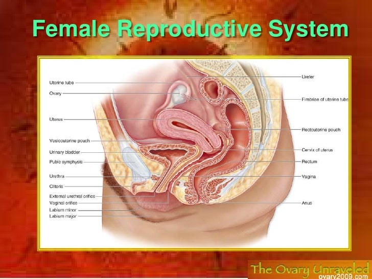 Female Reproductive System<br />