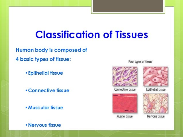 tissues in the body Notes over the four types of tissue found in the body, such as epithelial, connective, blood, and muscle these notes are intended for high school anatomy students, powerpoint presentation is included.