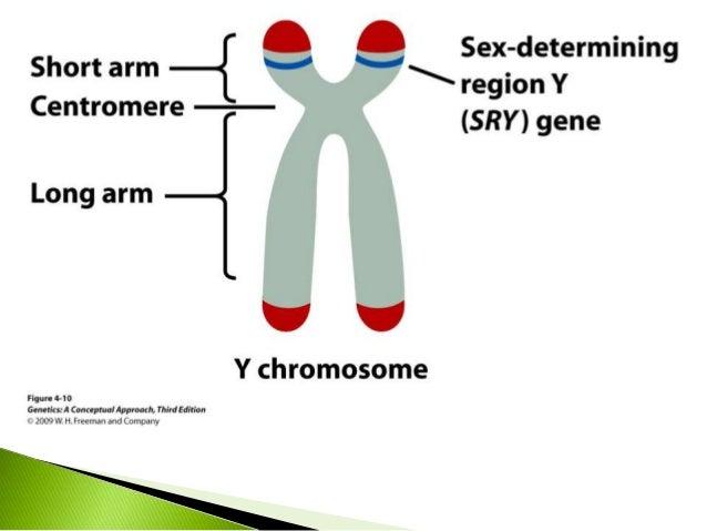 Y chromosome male determining gene order