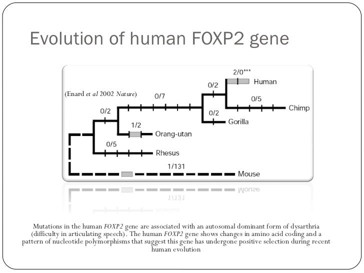 human speech and the foxp2 gene After sequencing the foxp2 gene in the family they found a specific mutation in the gene that was shared by all the affected family members this confirmed the importance of foxp2 in human language mutations in the foxp2 gene interfere with the part of the brain responsible for language development.