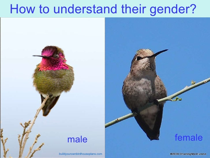 how to tell hummingbird gender