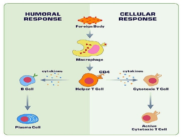 humoral and cell mediated immunity Humoral immunity or humoural immunity is the aspect of immunity that is mediated by macromolecules found in extracellular fluids such as secreted antibodies, complement proteins, and certain antimicrobial peptides.