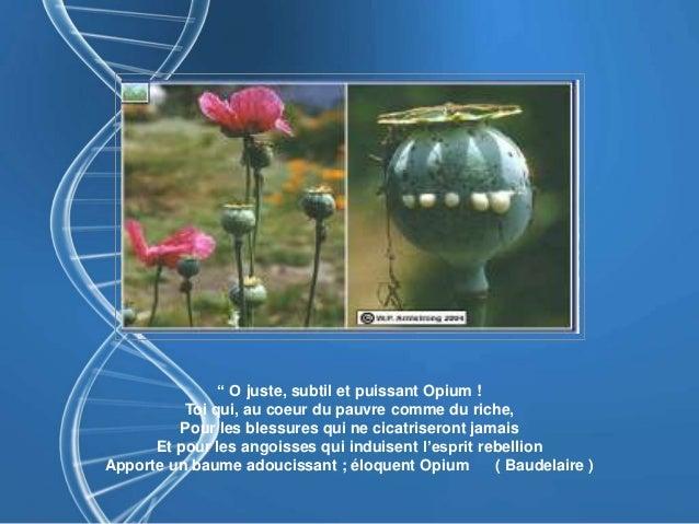 """"""" O juste, subtil et puissant Opium ! Toi qui, au coeur du pauvre comme du riche, Pour les blessures qui ne cicatriseront ..."""